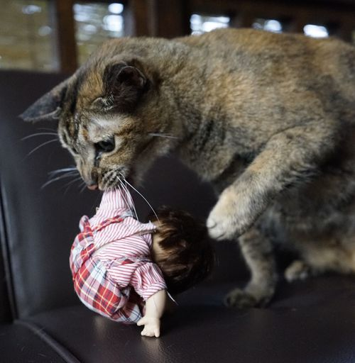 EyeEm Best Shots Bali, Indonesia Sony A7 Lovely Cat 😻 Cute Pets Biting Doll