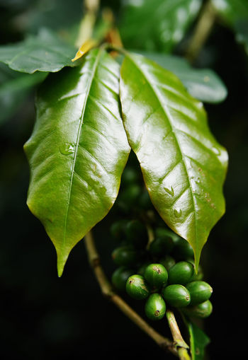City Coffee Coffee Leaves Green Travel Beauty In Nature Close-up Coffee Plantation Coffee Tree Day Focus On Foreground Freshness Green Color Growth Leaf Leaf Vein Leaves Nature No People Outdoors Plant Plant Part Raw Coffee Selective Focus Shadow