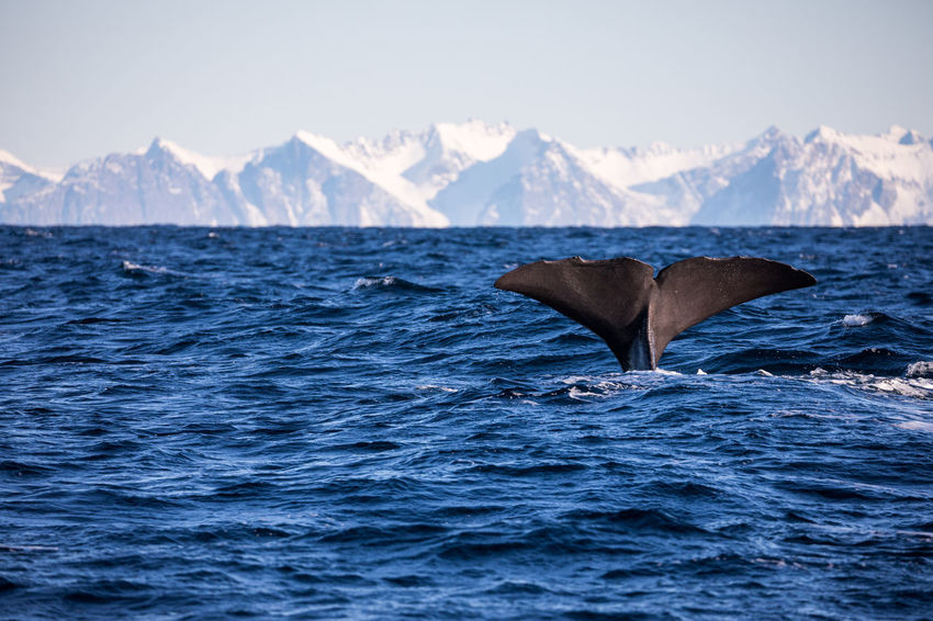 Animal Themes Animals In The Wild Aquatic Mammal Beauty In Nature Cold Temperature The Great Outdoors - 2017 EyeEm Awards Diving Lofoten And Vesteral Islands Mammal Mountain Mountain Range Nature Norway One Animal Outdoors Rippled Sea Sperm Whale  Swimming Vesterålen Water Waterfront Whale Whale Fluke Winter