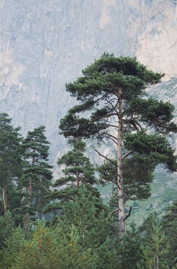 Low angle view of pine tree in forest