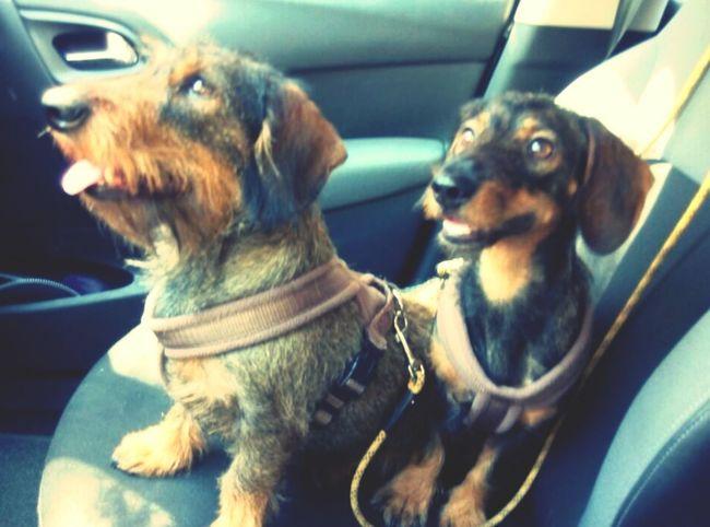 Summer Dogs Teckel Teckelpeloduro Viaje Traveling Dogs Of EyeEm Telma & Lois