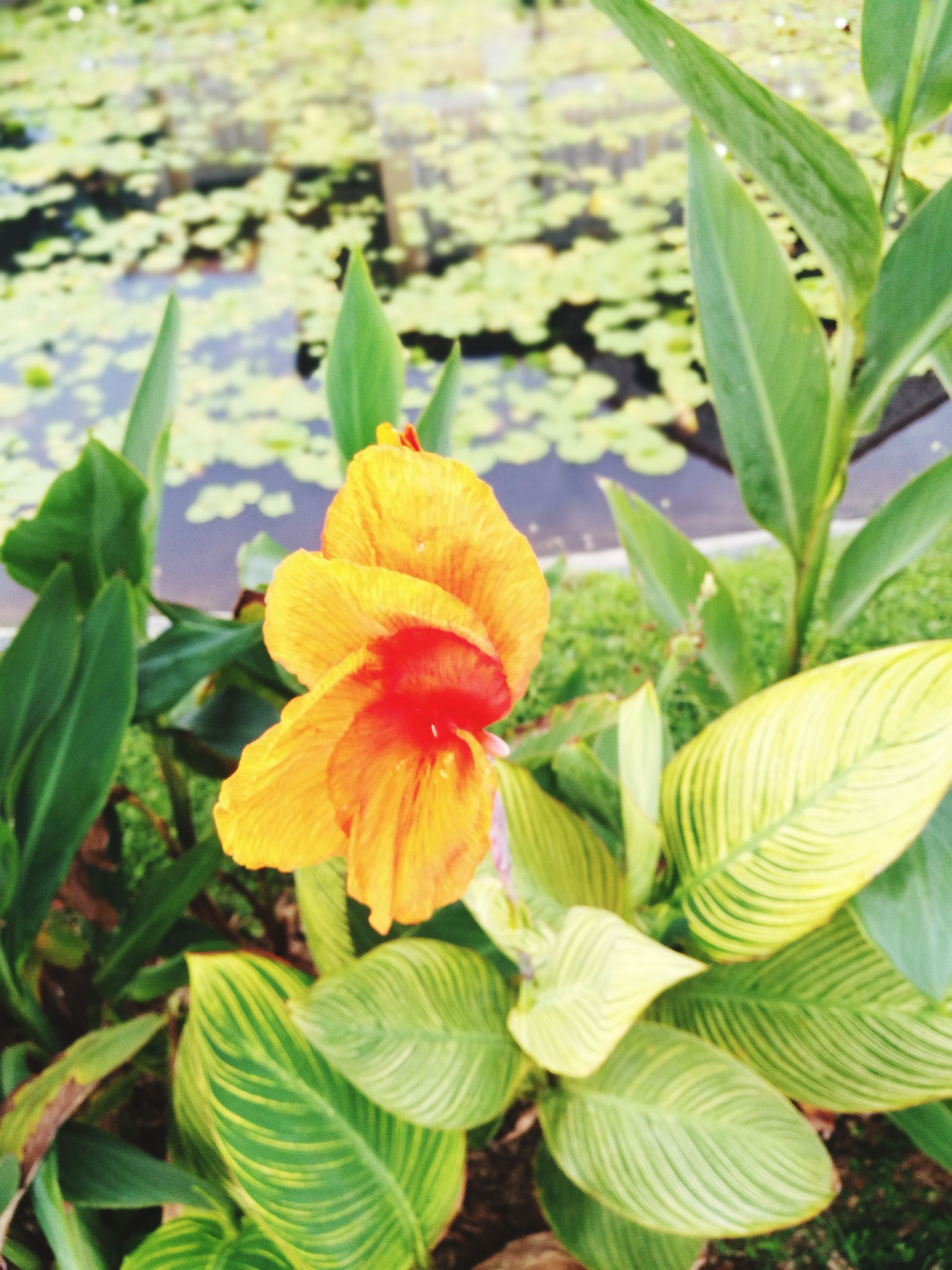 flower, petal, growth, fragility, leaf, plant, green color, freshness, beauty in nature, nature, flower head, no people, day, close-up, blooming, outdoors, yellow, hibiscus, day lily
