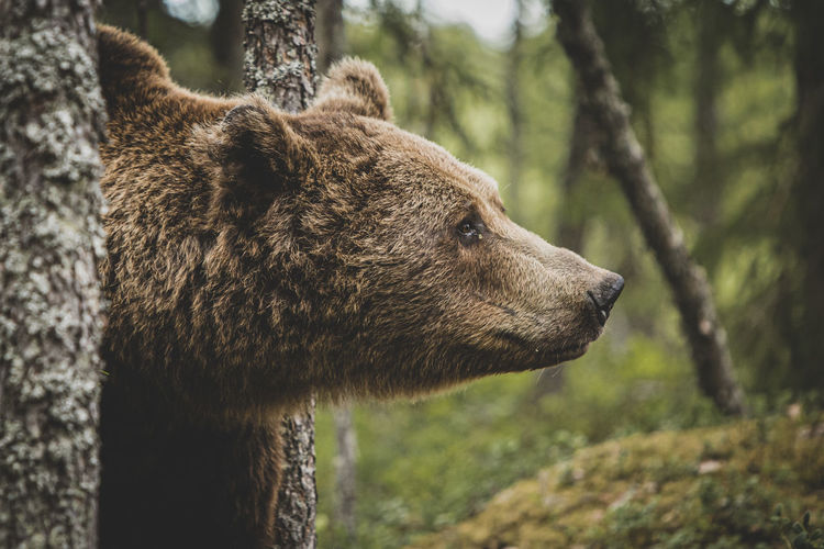 Close-up of bear looking away in forest