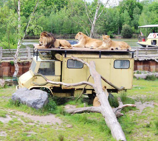 Animal Themes No People Nature Outdoors Zoo Tree Trunk Safari Park Zoo Animals  Lions Tigers Wild Animals Safari Bus