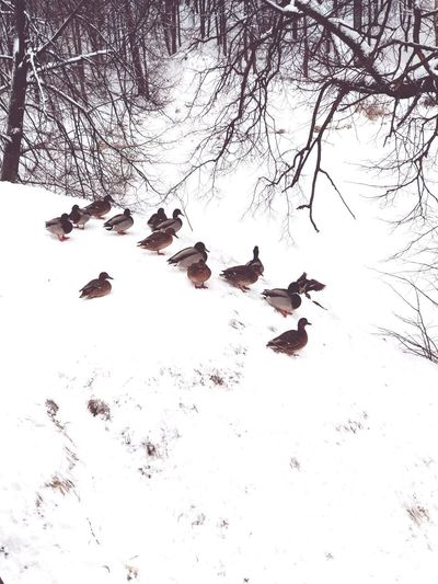 duck Duck Bird Snow Branch Cold Temperature Winter Tree Flock Of Birds Animal Themes Sky Duckling Water Bird
