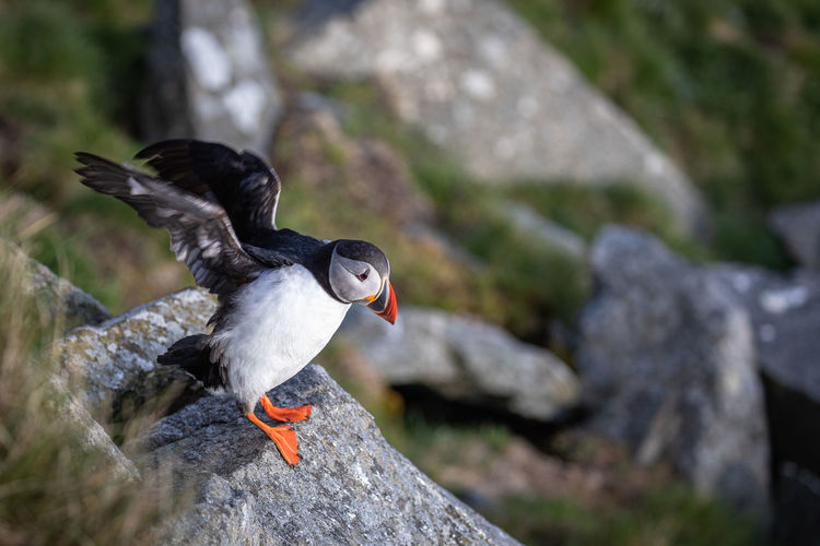 High angle view of puffin perching on rock