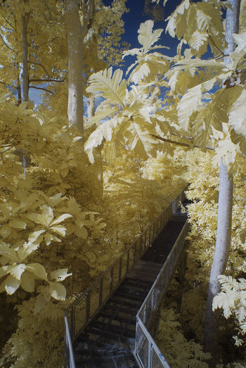 An infrared view of metal bridge among tall trees of yellow foliage. Infrared Beauty In Nature Branch Color Infrared Growth Hanging Bridge Infrared Photography Landscape Leaf Metal Bridge Nature No People Outdoors Railings Tall Trees Tree Yellow Foliage