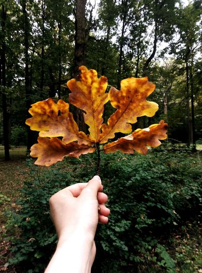 Autumn Human Hand Forest Beauty In Nature Leaf Human Body Part Nature Change Tree One Person Personal Perspective Holding Outdoors Day Real People Fragility People Maple Leaf Landscape Close-up