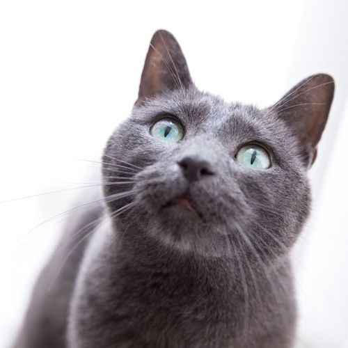 Close-up of shorthair cat against white background