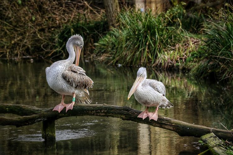 Animal Themes Animal Wildlife Animals In The Wild Bird Birdland Bourton On The Water Cheltenham Day Nature No People Outdoors Pelican