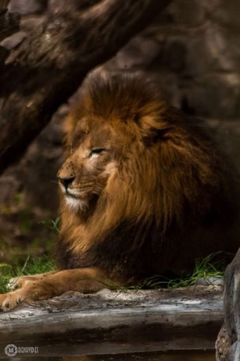 One Animal Animal Themes Animal Wildlife Nature No People Zoophotography Zoo Animals  Zoo Leon Lion