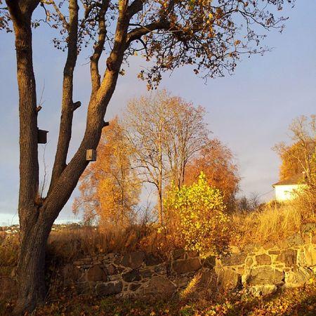 Halden Autumn Fall Tree Norway love nofilter light colour