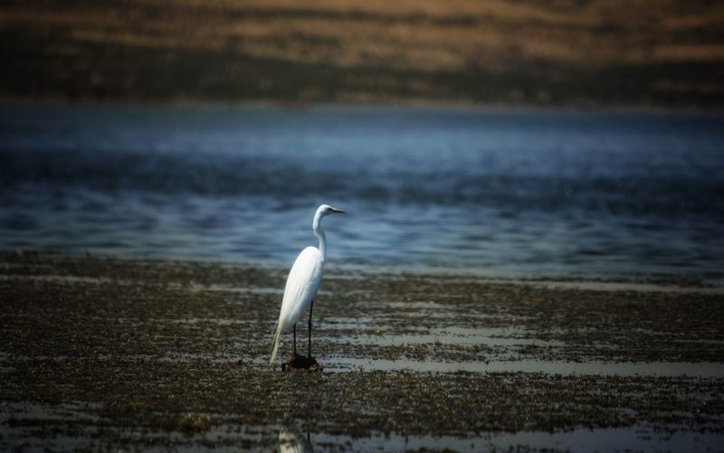 Great egret perching at beach