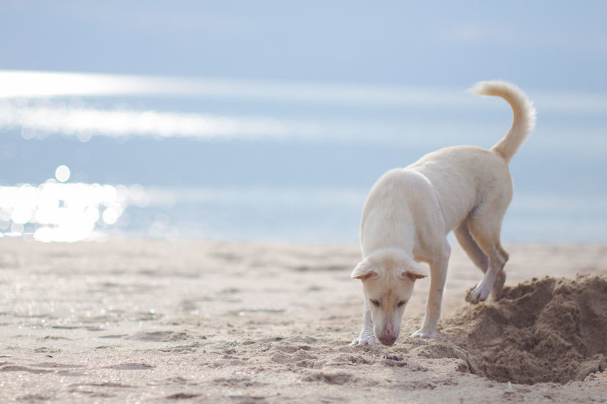 White Dog digs a hole by the sea. Animal Themes Beach Beauty In Nature Close-up Day Dog Digging Dog Digging A Hole Domestic Animals Horizon Over Water Mammal Nature No People One Animal Outdoors Pets Sand Sea Sky Standing Water