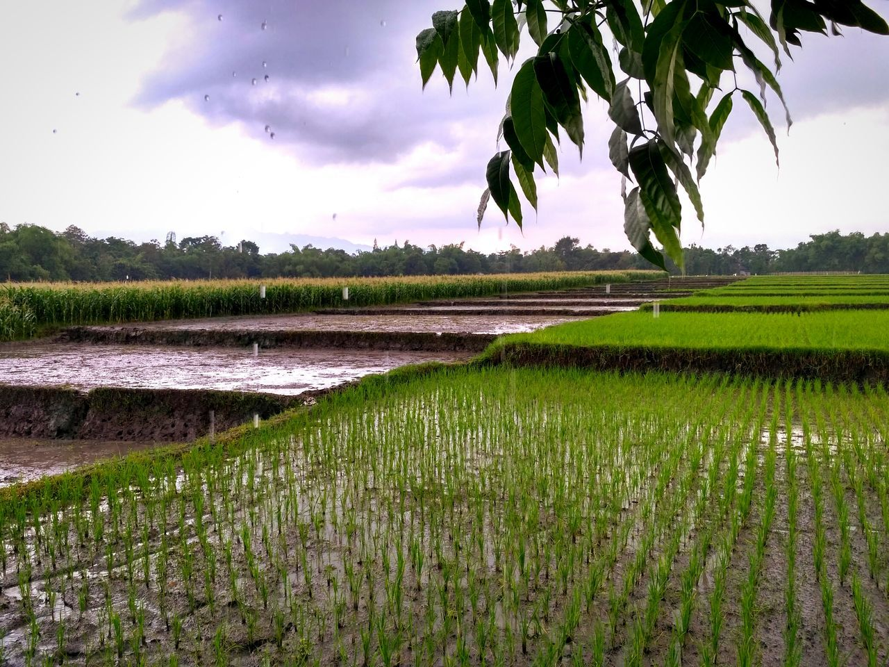 agriculture, growth, water, green color, crop, nature, field, rural scene, scenics, beauty in nature, sky, rice paddy, tree, tranquil scene, no people, rice - cereal plant, leaf, outdoors, tranquility, plant, day, banana tree