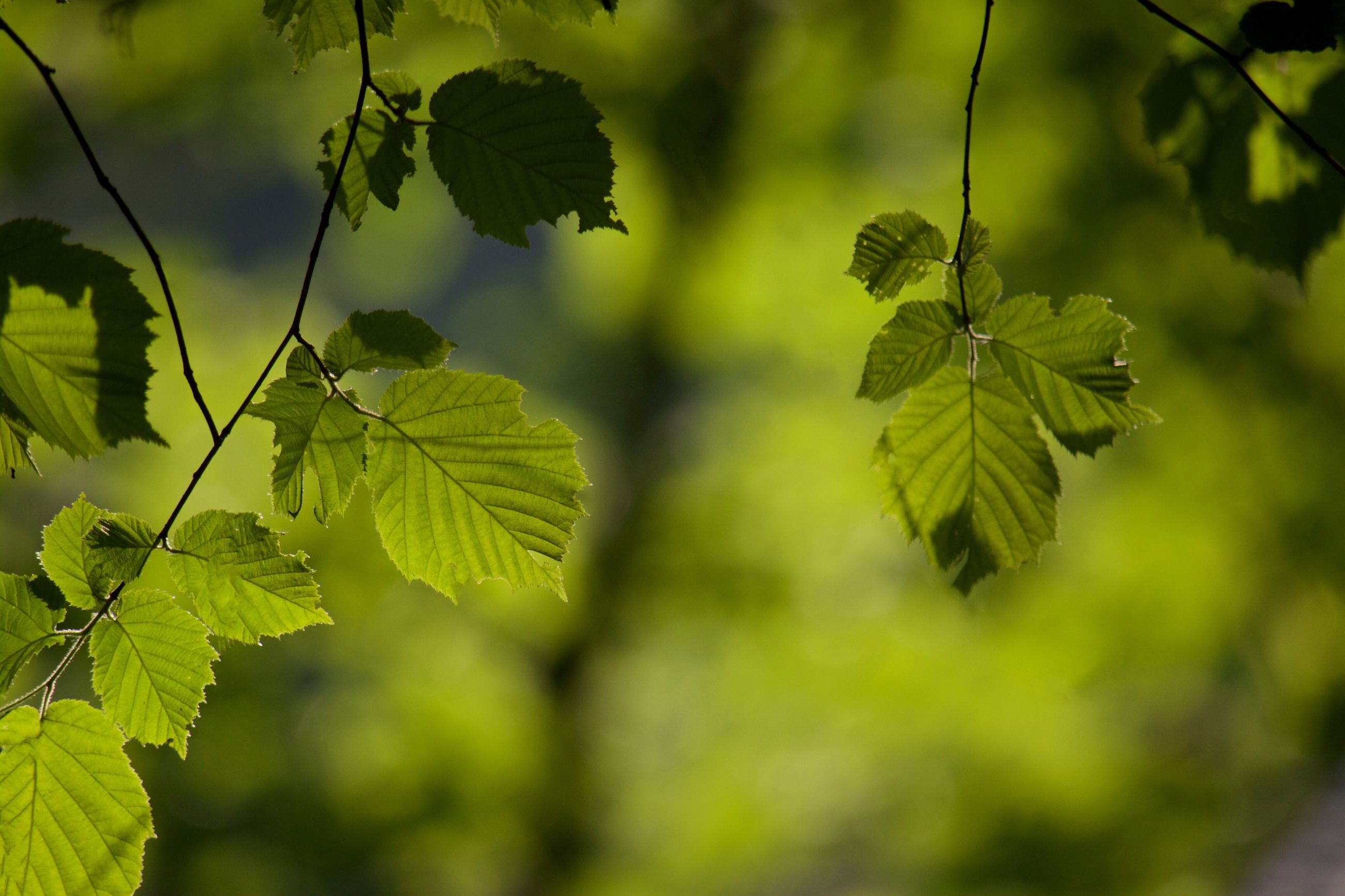 leaf, green color, growth, focus on foreground, close-up, plant, nature, branch, leaves, selective focus, leaf vein, tree, tranquility, beauty in nature, outdoors, day, forest, no people, twig, green