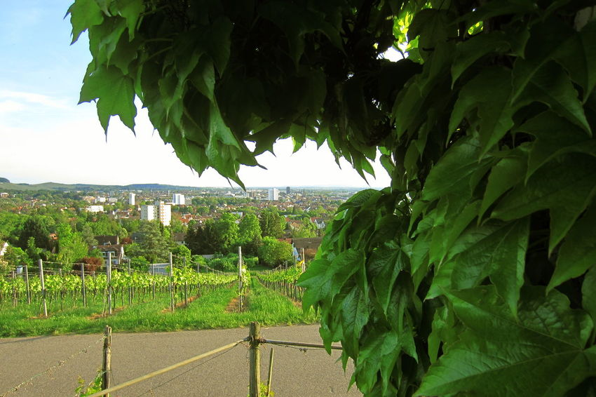 Background Cityscapes Elevated View Foreground Leaf Perspective Vineyard Wartberg Wine Moments
