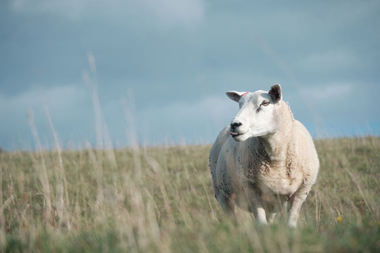 Sheep grazing in a field with on the sussex downs near alfriston