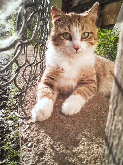 Italy Paws Green Eyes Pet Cat Cute Beautiful Fence Light EyeEm Selects Pets Portrait Feline Domestic Cat Sitting Animal Themes Cat Kitten At Home Yellow Eyes