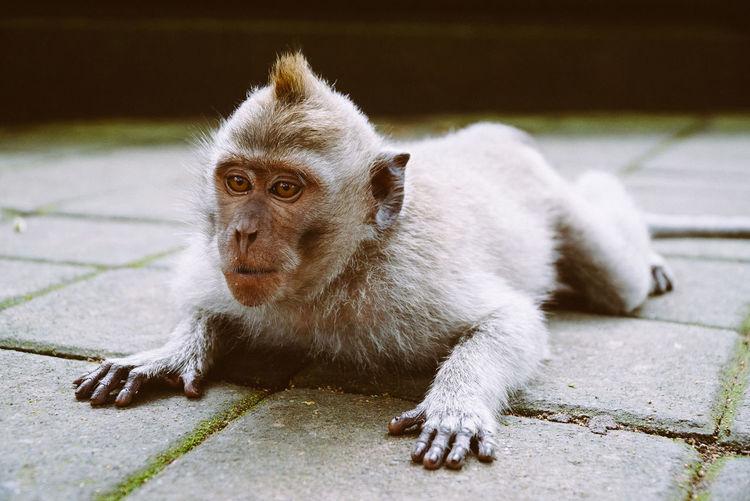 Monkey. Bali