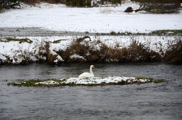 Animals In The Wild Bird Island Nature Nesting Birds Outdoors River Island Snow Swan Water