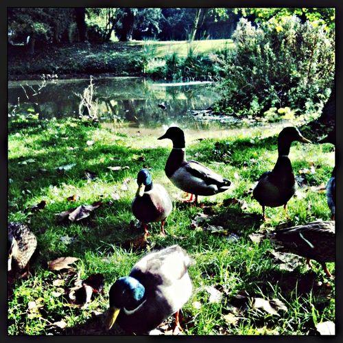 The Stowmarket Duckface mafia... Animals Nature