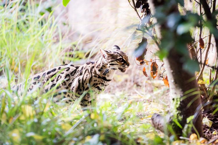 Male Margay cat (Leopardus wiedii) prowling in long grass. Endangered Species Leopardus Wiedii Margay Nature Stripes Animals In The Wild Big Cat Cat Feline Grass Mammal Nature No People Ocelot One Animal Outdoors Wild Wildlife