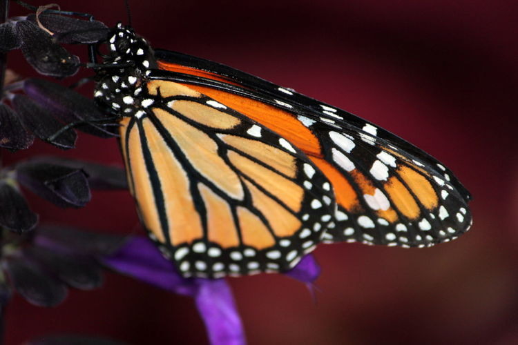 Animal Animal Body Part Animal Markings Animal Themes Animal Wildlife Animal Wing Animals In The Wild Beauty In Nature Butterfly Butterfly - Insect Close-up Colored Background Flower Insect Invertebrate Natural Pattern Nature No People One Animal Plant Purple Studio Shot