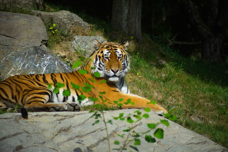 Tiger Resting In Zoo