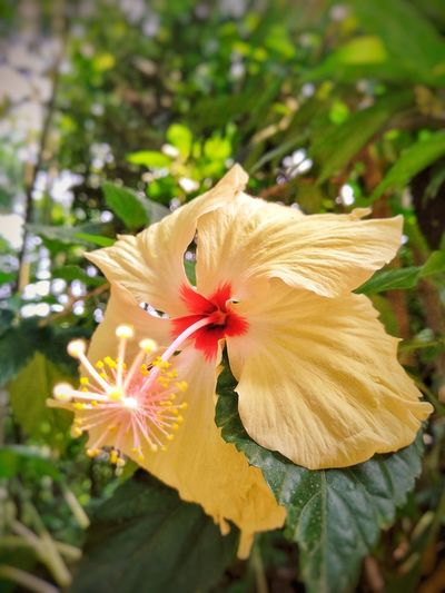 Hibiscus Flower Beautiful Flower Yellow Flower Yellow Color Yellow Flowers Single Object One Flower Light Flower Five Leaf Center Focus Awesome Flowers Awesome Flower Butterfly - Insect Close-up Plant Hibiscus Pollen Wildflower Botany Blossom In Bloom Blooming Cosmos Flower Single Flower Plant Life