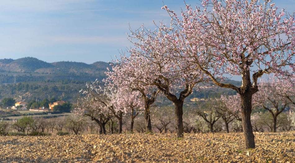 Tree Plant Beauty In Nature Flower Growth Springtime Flowering Plant Nature Blossom Sky Scenics - Nature Freshness Landscape Land Environment Day Fragility Field Tranquil Scene Tranquility No People Outdoors Almond Tree Almond Blossom Almonds