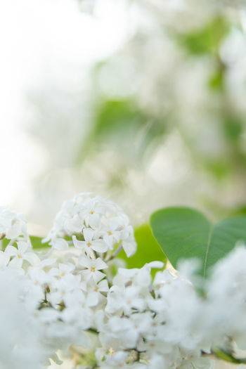 Beauty In Nature Bunch Of Flowers Close-up Day Flower Flower Head Flowering Plant Fragility Freshness Growth Inflorescence Leaf Nature No People Outdoors Petal Plant Plant Part Selective Focus Vulnerability  White Color