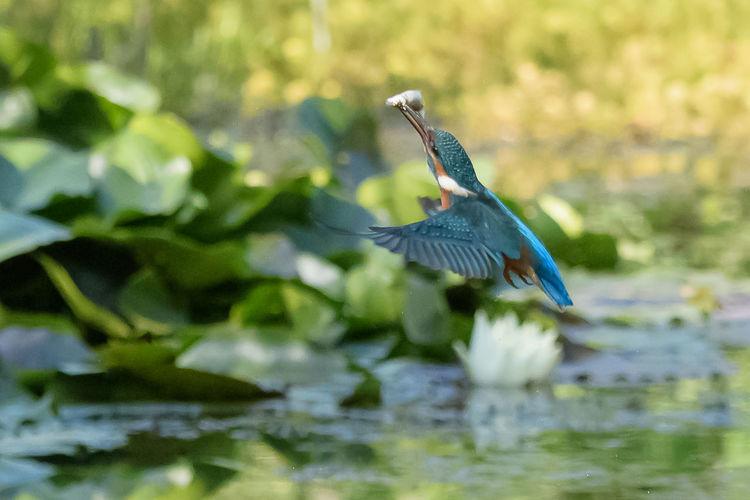 Flying Fisher