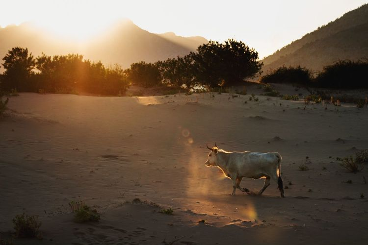 bull running on
