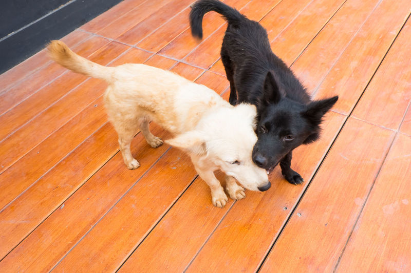 black and white thai dog tease Animal Black Black And White Dog Floor Hardwood Floor Jolly Mammal Pet Relaxation Tease Thai Dog White Wood Wood - Material Wood Floor