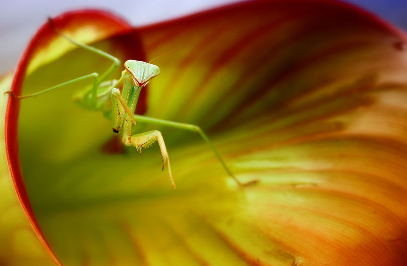 Macro Photography Green Color Insect Mantis Pose