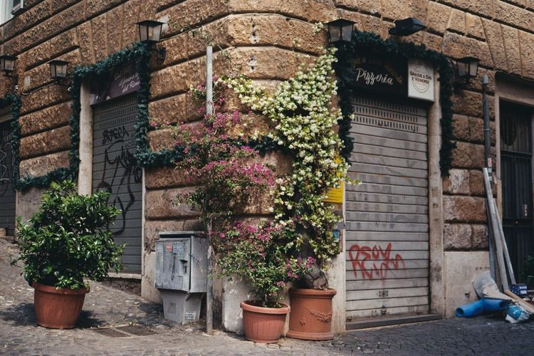 Brick Wall Moving Around Rome Rome Flowers Italy Potted Plant Vine - Plant Vines On Wall