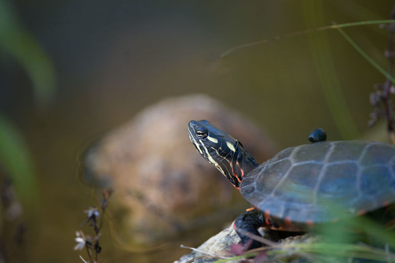 Turtle Relaxing. Animal Animals In The Wild Close-up Nature One Animal Outdoors Painted Turtle Turtle Turtle 🐢 Wildlife Wildlife & Nature Wildlife Photography Wildlife Photos Wildlifephotographer Animal Themes Reptile Photography Reptile Animal Photography Tortoise Shell Animal Wildlife