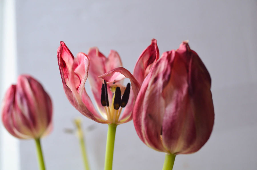 Fading Flowers Nature Pink Close-up Fading Fading Beauty Flower Head Flowering Plant Flowers, Nature And Beauty Focus On Foreground Fragility Growth Mood Nature Pink Color Pink Flower Pink Flowers Plant Tulip Tulip Flower Vulnerability