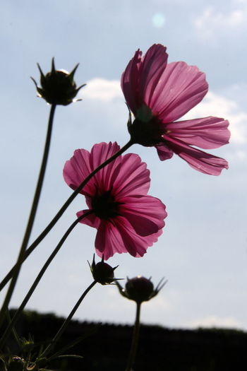 Beauty In Nature Blooming Close-up Cosmos Flower Day Eastern Purple Coneflower Flower Flower Head Focus On Foreground Fragility Freshness Growth Hibiscus Nature No People Outdoors Petal Petunia Pink Color Plant Sky