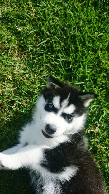 Outdoors Dog Husky Beautiful Cute Playful Pups Nature At Its Best Grass No People Field Nature Close-up Spotlight Blue Eye Brown Eye Daytime Pets Happiness Idyllic