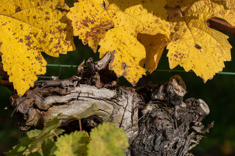 Close-up of yellow maple leaves on tree trunk
