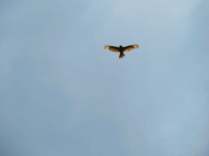 Wild hawk flying, with sun at its back Florida Hawks Hawks Of Eyeem Hawk Bird Of Prey Bird Spread Wings Flying Mid-air Sky Animal Themes Hawk - Bird Feather  Fanned Out Fly Animal Wing