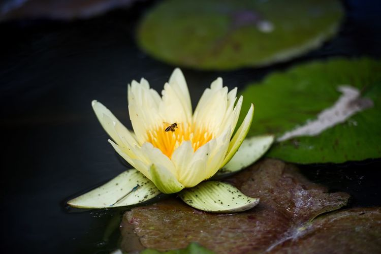 Flower Flowering Plant Vulnerability  Fragility Plant Water Beauty In Nature Water Lily Freshness Close-up Inflorescence Flower Head Lake Pollen Growth Nature Petal Leaf Floating On Water