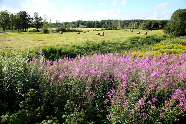 Field in Latvia in the summer Beauty In Nature Cesvaine Day Feldberg Field Flower Growth Hay Bale Hay Bales Hay Bales On Field Landscape Latvian Girl Latviasummer Lettland  Lush - Description Nature No People Outdoors Plant Scenics Sky Travelling The Baltic States Tree Uguns Puke