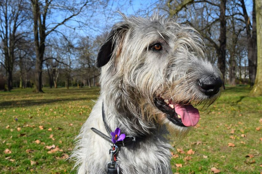 One Animal Animal Themes Domestic Animals Pets Dog Nature Tree Outdoors Sunlight Dogwalk Dog Of The Day Dogs Of EyeEm Dogs Of Winter Irish Wolfhound Cearnaigh Dogslife Scenics Looking At Camera Portrait Nature March 2017 Winter 2017 Spring Is In The Air A Walk In The Park Green Green Green!