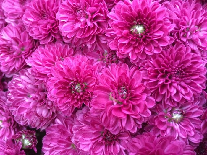 Mums The Word Flower Petal Pink Color Beauty In Nature Fragility Nature Flower Head Freshness Backgrounds Full Frame Purple Dahlia No People Chrysanthemum Peony  Growth Bouquet Blooming Day Close-up