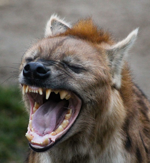 Close-up of a tired hyena