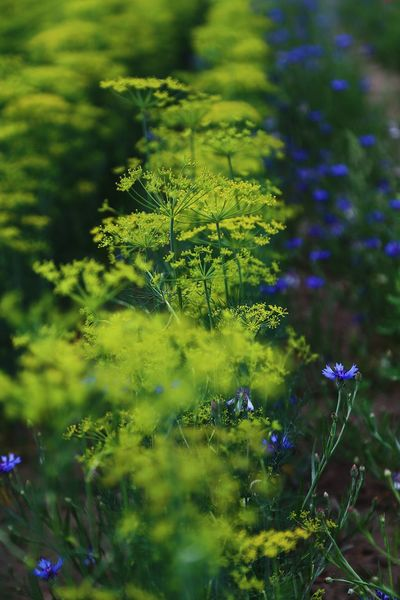 Botany Botanical Botanic Fresh Produce Flower Head Herbal Countryside Landscape Full Frame Naturephotography Close-up Herb Garden Dill Stem Flora Backgrounds Herb Dill Flowers Flower Head Plant Growth Beauty In Nature Nature No People Green Color Day Close-up Focus On Foreground Vulnerability  Flowering Plant Tranquility
