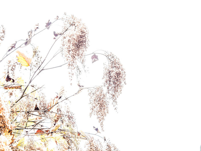 shrub Beauty In Nature Branch Clear Sky Close-up Copy Space Day Flower Flowering Plant Fragility Growth Low Angle View Nature No People Outdoors Plant Sky Tranquility Tree Vulnerability  White Background